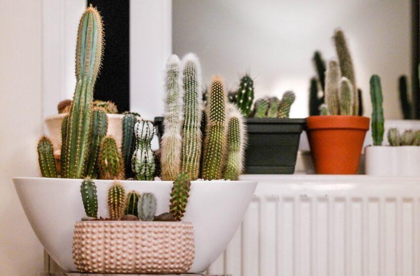 Cactus Care Method: How to Grow Indoor Cactus Plants